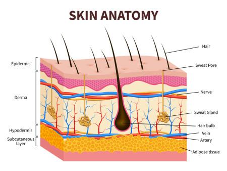 Skinatomie